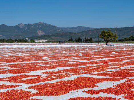 polja paradajz turska
