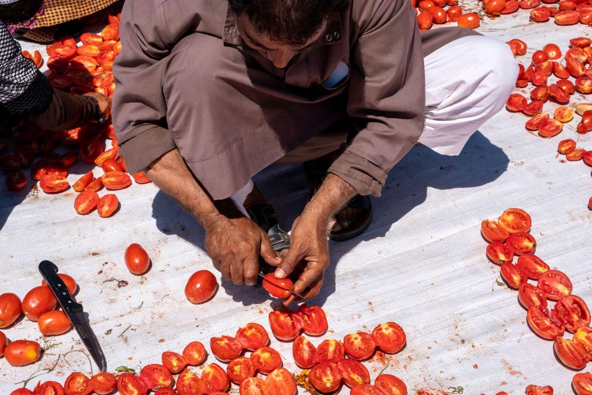 radnik seče paradajz turska